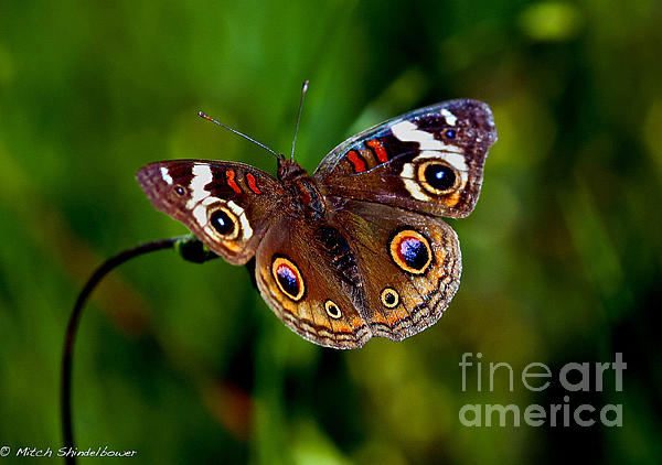 Mitch Shindelbower - Buckeye Butterfly