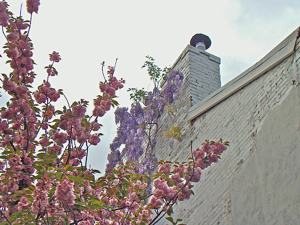 Carol Senske - Cherry Blossoms and Wisteria Against a White Chimney