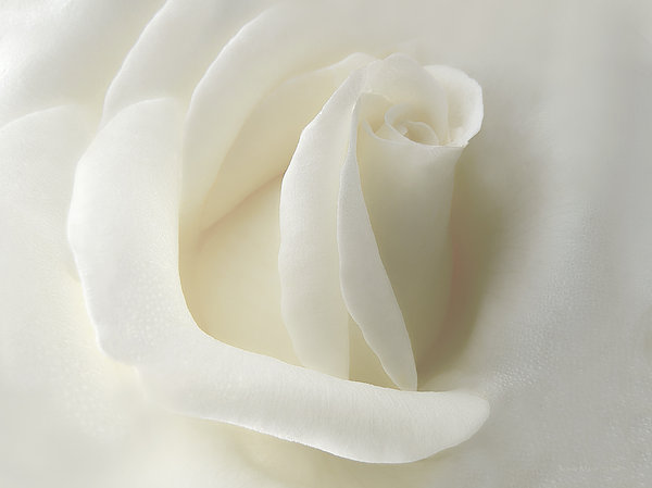 Jennie Marie Schell - Gentle White Rose Flower