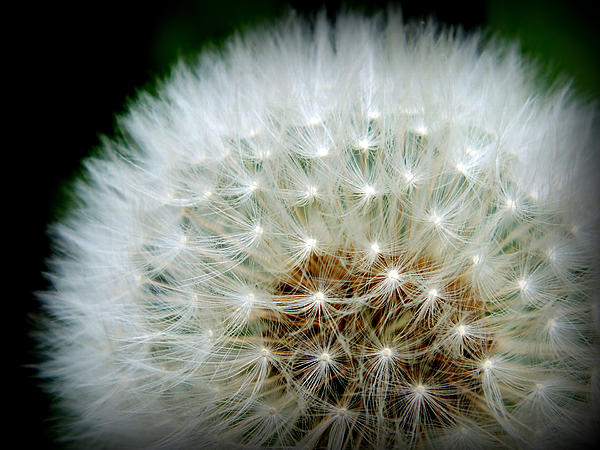 Lorainek Photographs -  A white fluffy dandylion is the kind you will need.