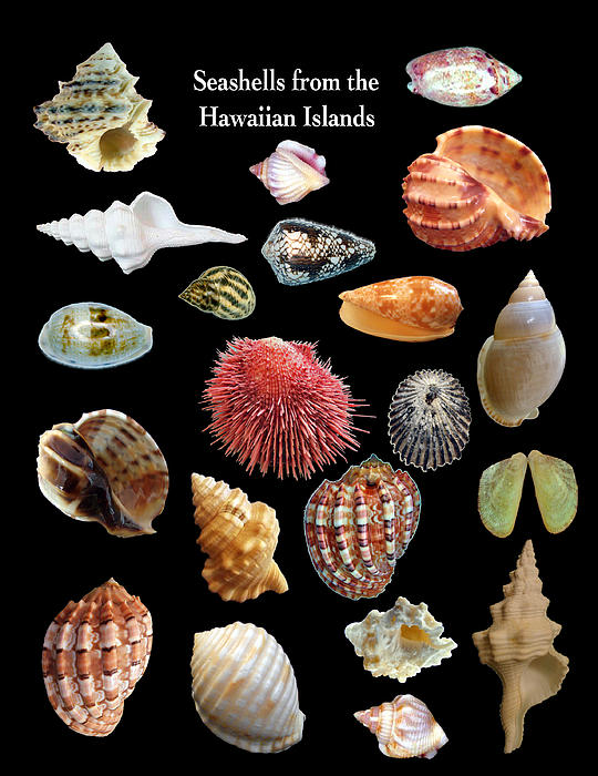 Daniel Goodwin - Seashells from the Hawaiian Islands