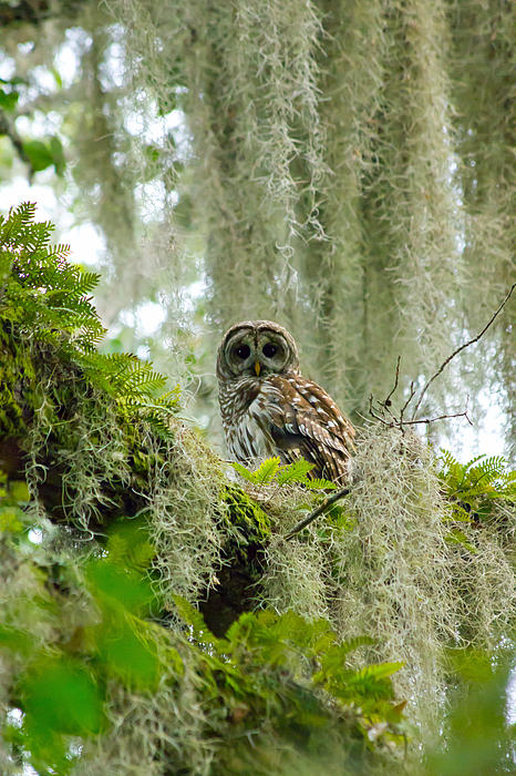 Wild Expressions Photography - Barred Owl
