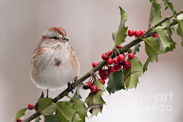 Jean A Chang - American Tree Sparrow