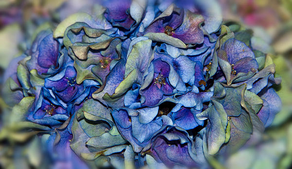 Lisa Moore - Beauty in a Dying Hydrangea