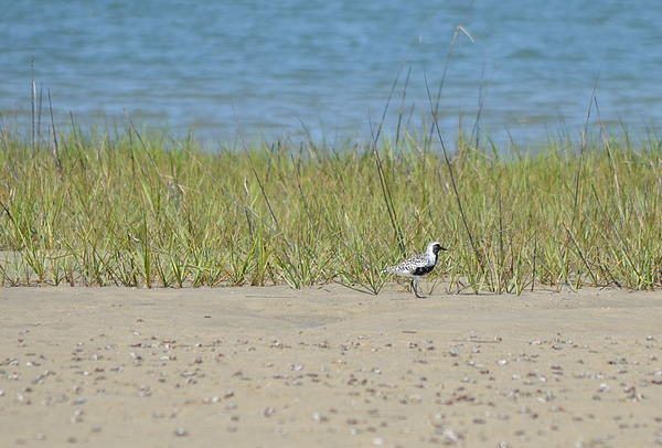 Kathy Gibbons - Black Bellied Plover