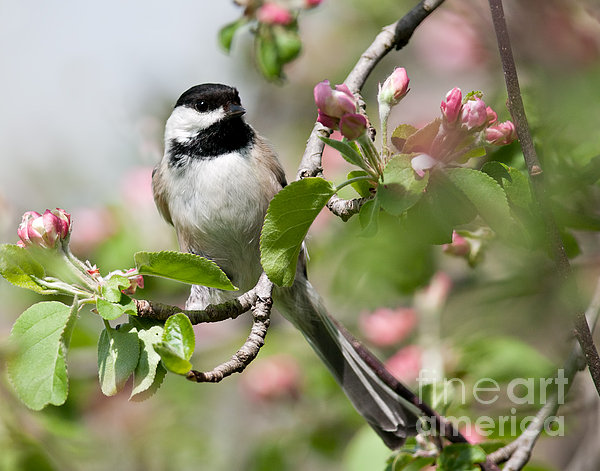 Jean A Chang - Black-Capped Chickadee in Apple Blossoms