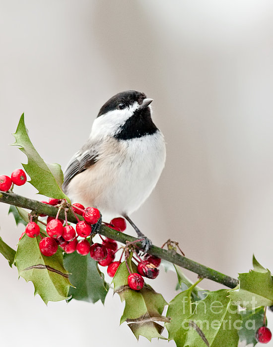 Jean A Chang - Black Capped Chickadee on Holly Branch