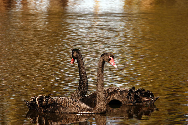 Noel Elliot - Black Swans On A Golden Pond