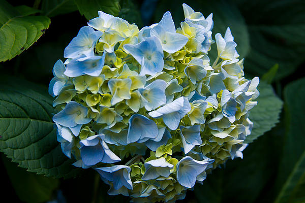 Theresa Johnson - Blue Hydrangea