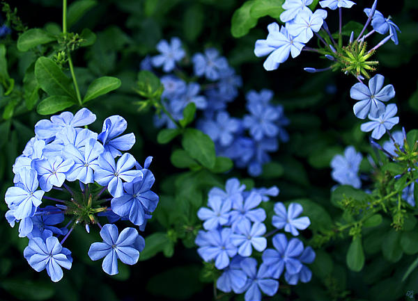 Barbara Middleton - Blue Plumbago