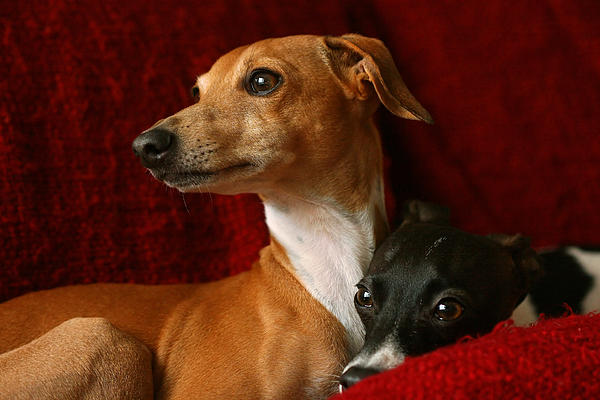 Angela Rath - Brothers Italian Greyhounds