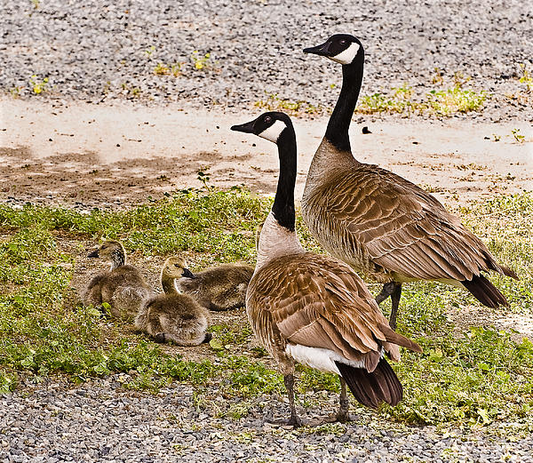 Nadine and Bob Johnston - Canada Geese and Goslings
