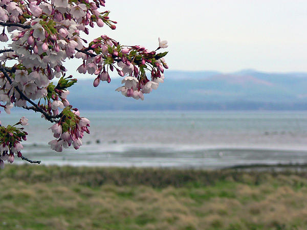 Pamela Patch - Cherry Blossoms on the Bay