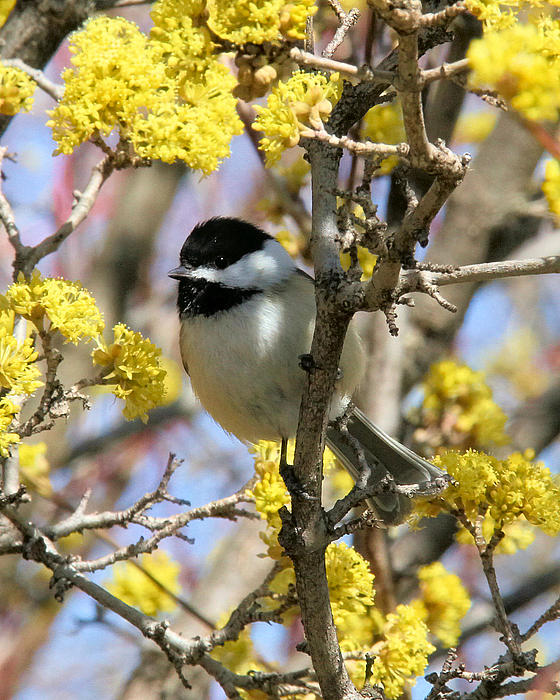 Doris Potter - Chickadee among the blossoms
