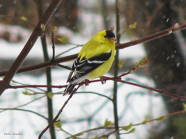 Debra     Vatalaro - Cold Golden Finch