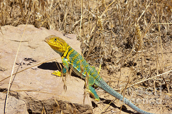 Bob and Nancy Kendrick - Collared Lizard
