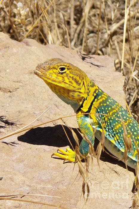 Bob and Nancy Kendrick - Collared Lizard Close up