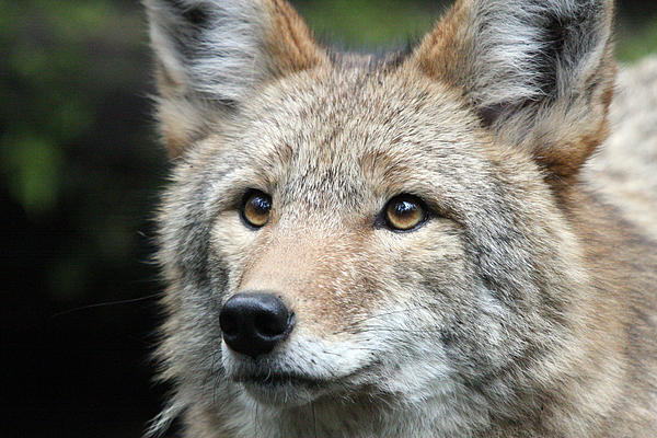 S and S Photo - Coyote - 0031