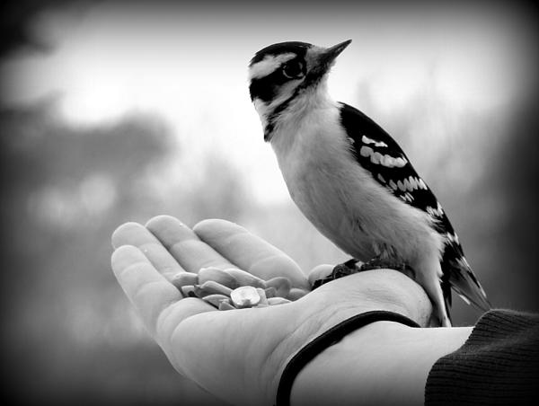 Shamik Tobin - Downy Woodpecker