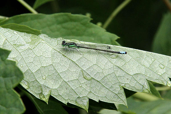 Doris Potter - Eastern Forktail damselfly