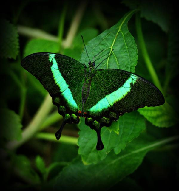 Sandy Keeton - Emerald Swallowtail