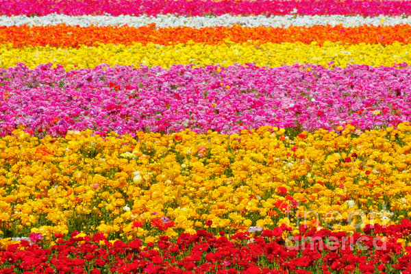 Christine Till - Flower Fields Carlsbad CA Giant Ranunculus