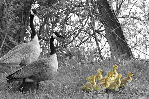 Mark J Seefeldt - Geese and Goslings in Select Color