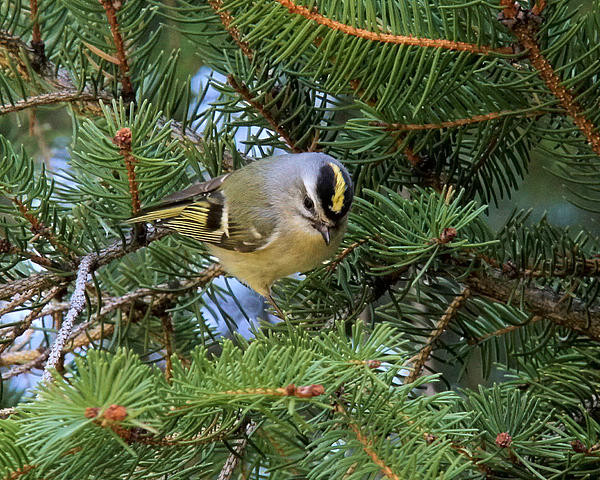 Doris Potter - Golden-Crowned Kinglet