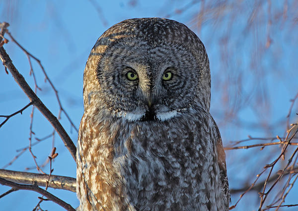 Sam Amato - Graceful Grey Owl