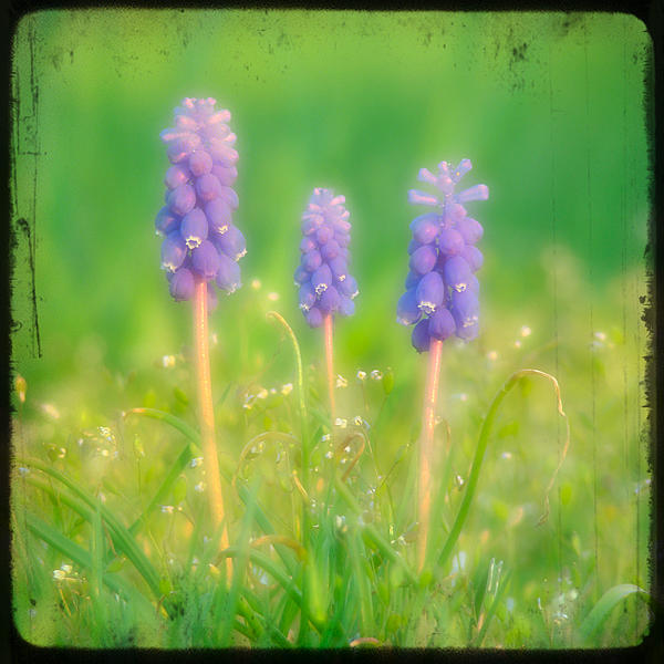 Gothicolors With Crows - Grape Hyacinths