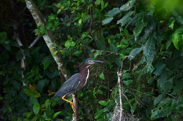 Kathy Gibbons - Green Herons Foot Work