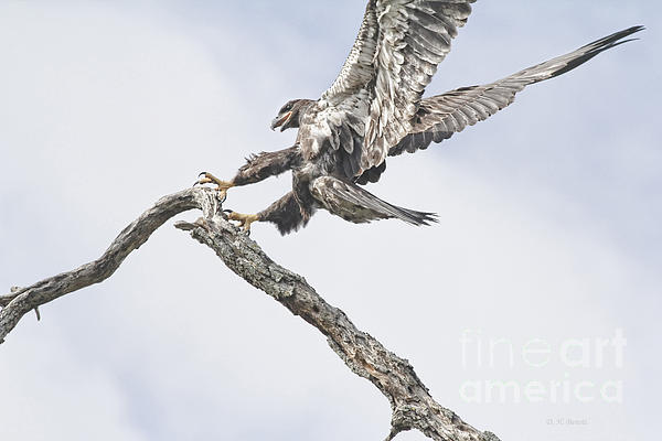 Deborah Benoit - Immature Eagle At Play