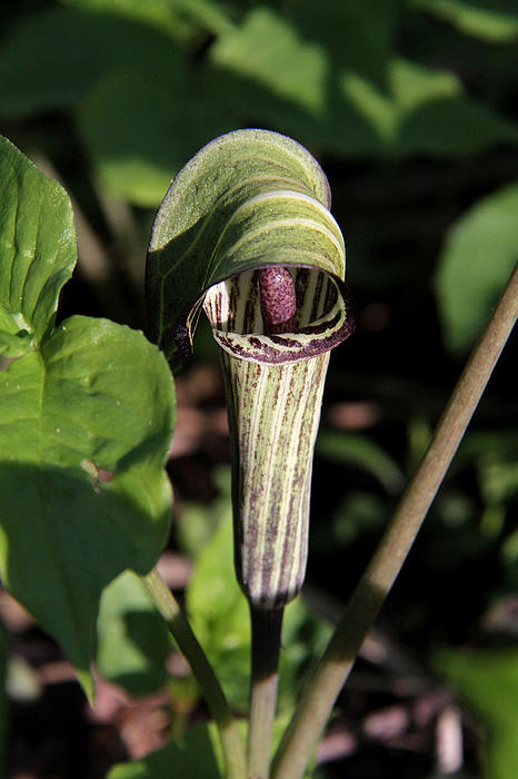 Doris Potter - Jack-In-The-Pulpit
