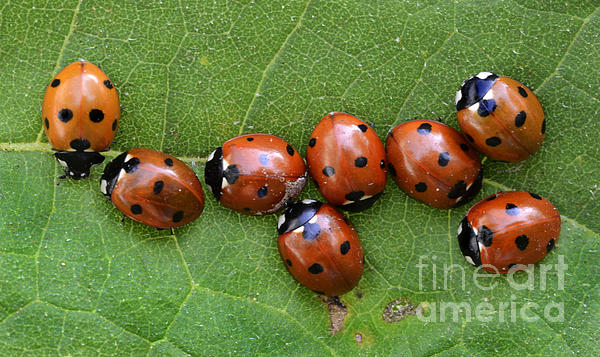Bob Christopher - Lady Bugs Playing Survivor