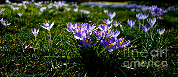 Melissa Nickle - Lavender Crocuses