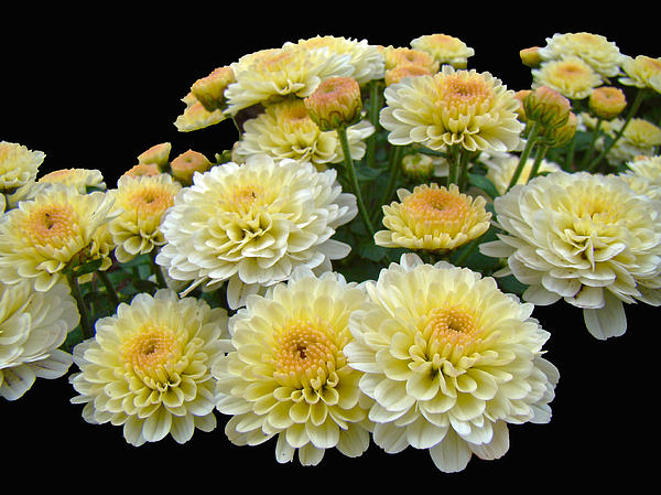 Carol Senske - Lemon Meringue Chrysanthemums
