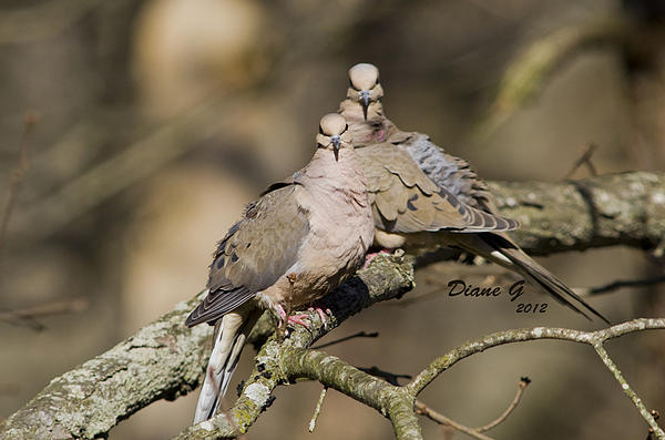 Diane Giurco - Mourning Doves