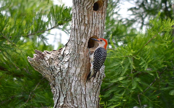 Kathy Gibbons - Mr Red Bellied Woodpecker
