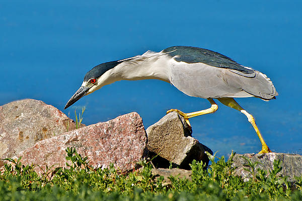 Stephen  Johnson - Night Heron at Ketring Lake