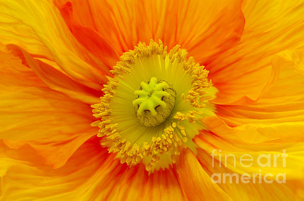 Angela Doelling AD DESIGN Photo and PhotoArt - Orange Poppy