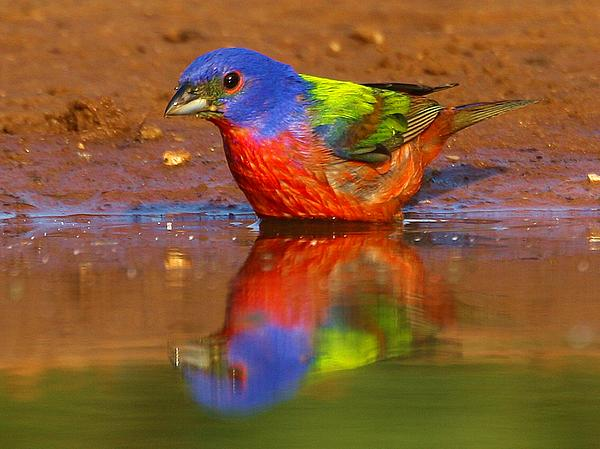Myrna Bradshaw - Painted Bunting Reflecting