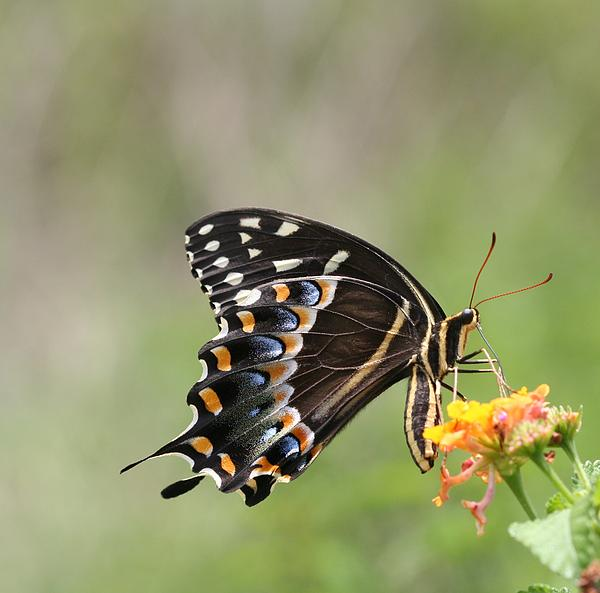 April Wietrecki - Palamedes Swallowtail