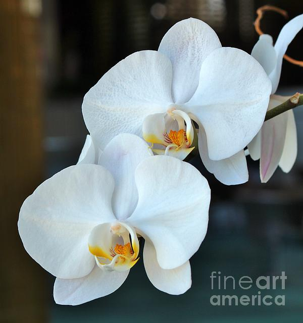 Rene Triay - Piggy Back Orchid