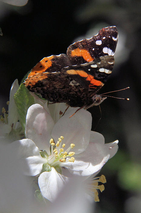 Doris Potter - Red Admiral on apple blossom