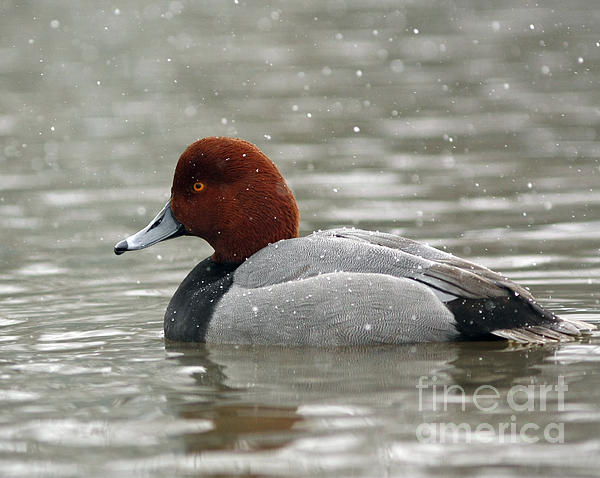 Inspired Nature Photography By Shelley Myke - Redhead Duck in a Winter Snow Storm