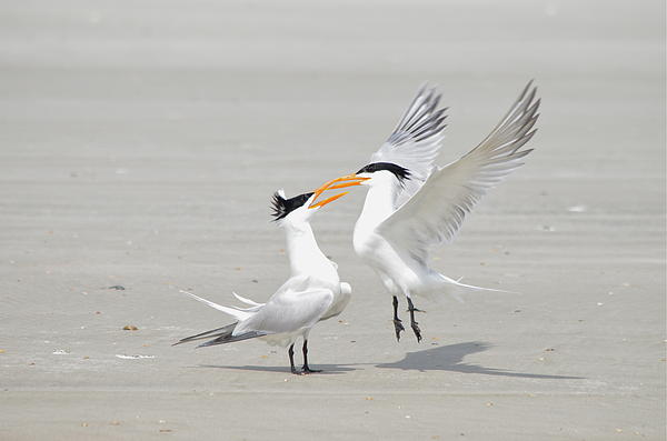 Kathy Gibbons - Royal Terns