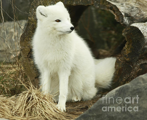 Inspired Nature Photography By Shelley Myke - Secret Hide Away- Arctic Fox