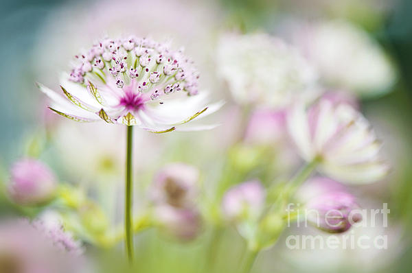Jacky Parker - Soft on Astrantia