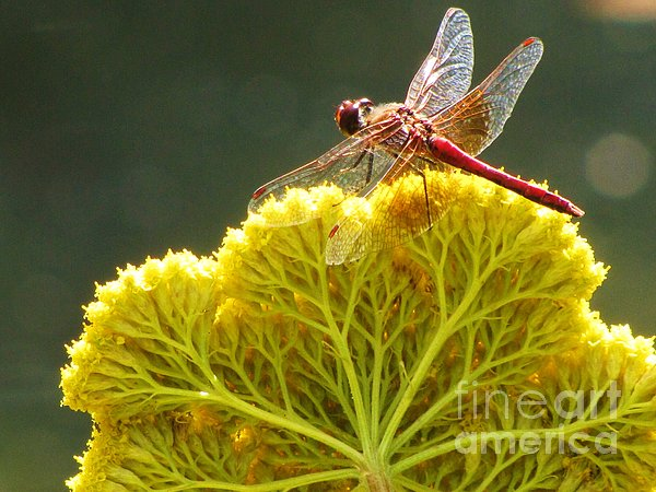 Michele Penner - Sunlit Dragonfly on Yellow Yarrow