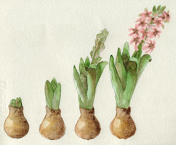 Annemeet Van der Leij - The growth of a hyacinth